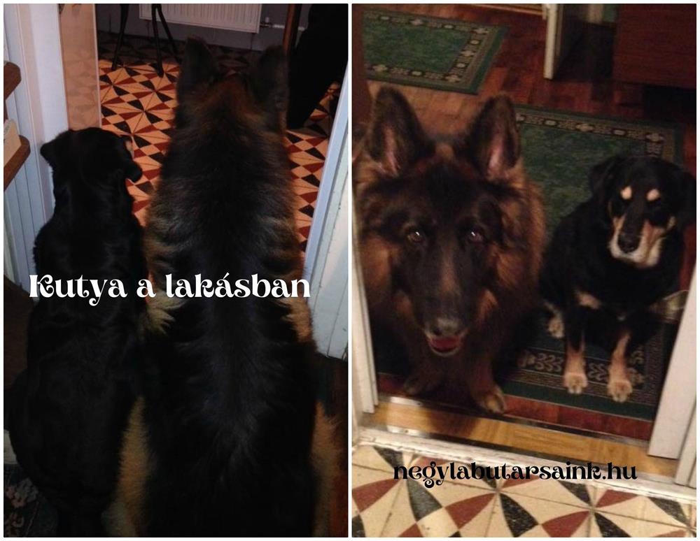kutya a lakasban